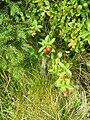 Cornus suecica (fruits).jpg
