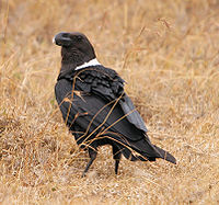 Corvus albicollis White-necked Raven.JPG