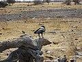 Corvus albus Etosha 2014 (2).jpg