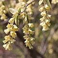 Corylopsis glabrescens - fleurs-2.jpg