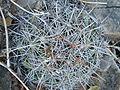 Coryphantha cornifera (5780016217).jpg