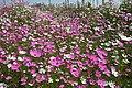 Cosmos bipinnatus 20D 4461.jpg