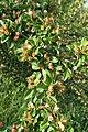 Cotoneaster divaricatus kz01.jpg