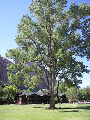 Populus fremontii - Fremont Cottonwood at Zion Lodge, Zion National Park, Utah