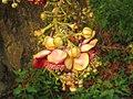 Couroupita guianensis - Cannon Ball Tree at Peravoor (31).jpg