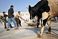 Cow donation in Baghdad DVIDS138428.jpg