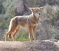 Coyote in Griffith Park 1.jpg