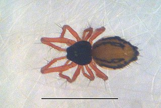 Symphytognathidae Family of spiders