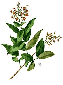 Cratoxylum sp Blanco2.254-cropped.jpg