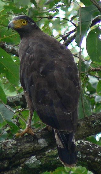 Spilornis - Crested serpent eagle (Spilornis cheela)