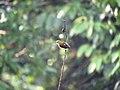 Crimson-backed sunbird IMG 5365 un edited.jpg