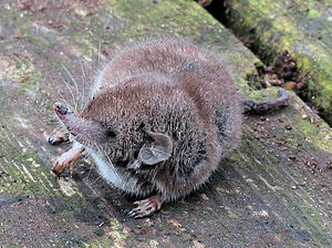 Greater white-toothed shrew - A Crocidura russula