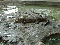 Crocodile in Mysore Zoo.JPG