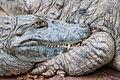 Crocodylidae in São Paulo Zoo.jpg