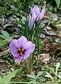 Crocus sativus1 (cropped).jpg