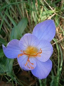 Crocus speciosus flower close-up.jpg