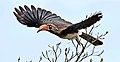 Crowned hornbill, Tockus alboterminatus, at Ndumo Nature Reserve, KwaZulu-Natal, South Africa (35052843083).jpg