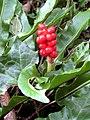 Cuckoo Pint - Oatclose Plantation - geograph.org.uk - 954789.jpg