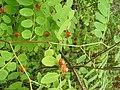 Cup and Saucer Plant Holmskioldia sanguinea by Raju Kasambe DSCF9933 (1) 04.jpg