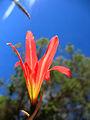 Curico, flor cerro Condell (9452308419).jpg