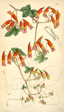 Curtis's Botanical Magazine, Plate 4337 (Volume 73, 1847).png
