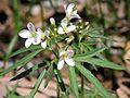 Cutleaf Toothwort (Cardamine concatenata) - Flickr - Jay Sturner.jpg