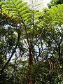 Cyathea spinulosa (Hego).jpg