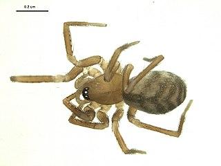 <i>Cybaeota</i> Genus of spiders