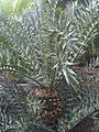 Cycadales - Encephalartos horridus - kew 2.jpg