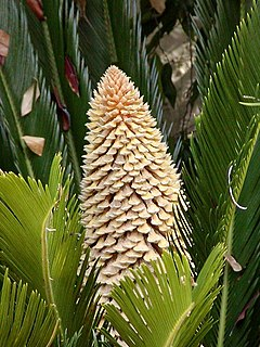Leaves and male cone of Cycas revoluta