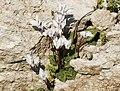 Cyclamen persicum - Persian cyclamen 04.jpg