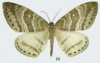 <i>Cyclidia rectificata</i> species of insect