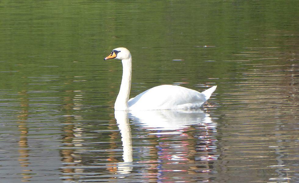 Cygne tuberculé nageant sur le canal de la Marne au Rhin à Nancy.