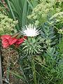 Cynara humilis white (14411892488).jpg
