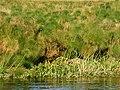 Cyperus papyrus (Kafue River).jpg
