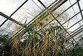 Cyperus papyrus 7zz.jpg