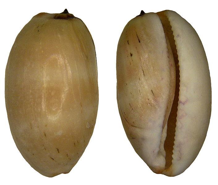 File:Cypraea isabella Linné, 1758 Syn. Luria isabella (Linné, 1758) (4248354454).jpg
