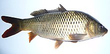 Cyprinus carpio 2008 G1 (cropped).jpg