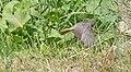 DSC 8224 Rougequeue noir Phoenicurus ochruros (50181365851).jpg