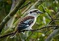 Dacelo novaeguineae -Brisbane, Australia-8 (1).jpg