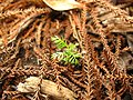 Dacrydium cupressinum seedling.jpg