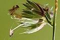 Dactylis glomerata, Commanster, Belgium 2.jpg