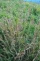 Dactylius glomerata, Poaceae 05.jpg