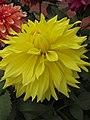 Dahlia - Indian Botanic Garden - Howrah 2012-01-29 1782.JPG