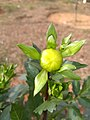 Dahlia flower buds 1.jpg