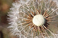 Dandelion closeup.jpg