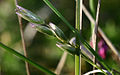 Danthonia decumbens FCL 2005.jpg