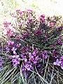 Daphne cneorum (Thymelaeaceae) 05.jpg