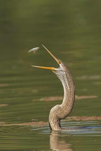 Oriental darter - The snake-like neck emerges out of the water and fish that have been captured are tossed before they are swallowed head-first
