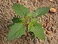 Datura stramonium 94792915.jpg
